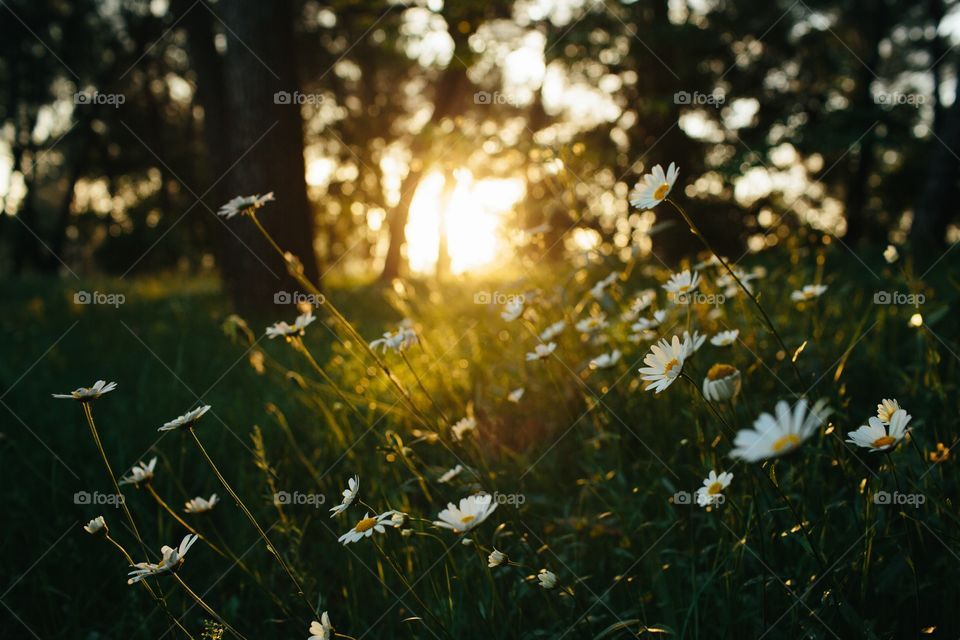 Field of daisies at sunset with woods behind. Flowers in a wooded field with sun and woods in background