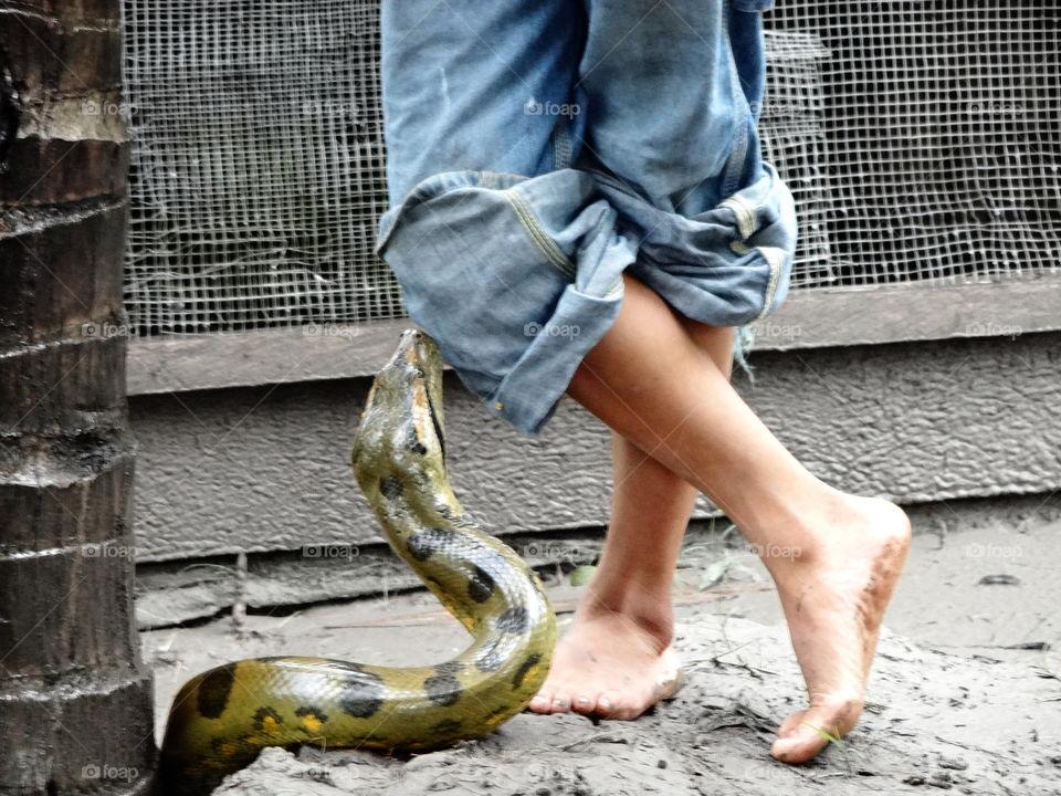 Boy with snake. Green anaconda with barefoot boy crossed legs, amazon rainforest peru
