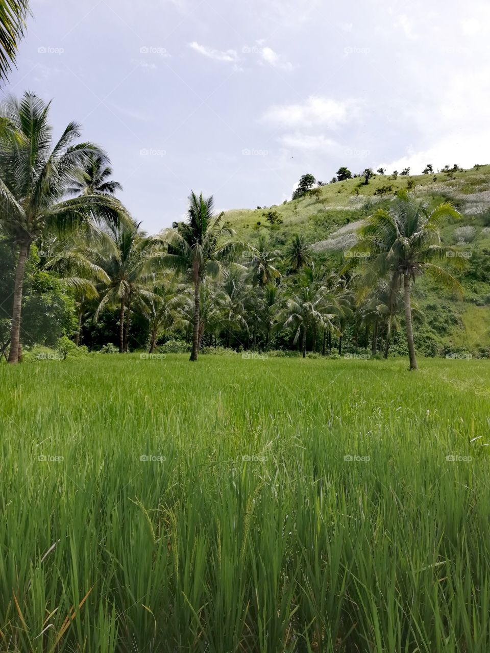 Tall coconut trees amidst fresh green rice fields and hills in the background, in Abra De Ilog, Mindoro, Island of Philippines