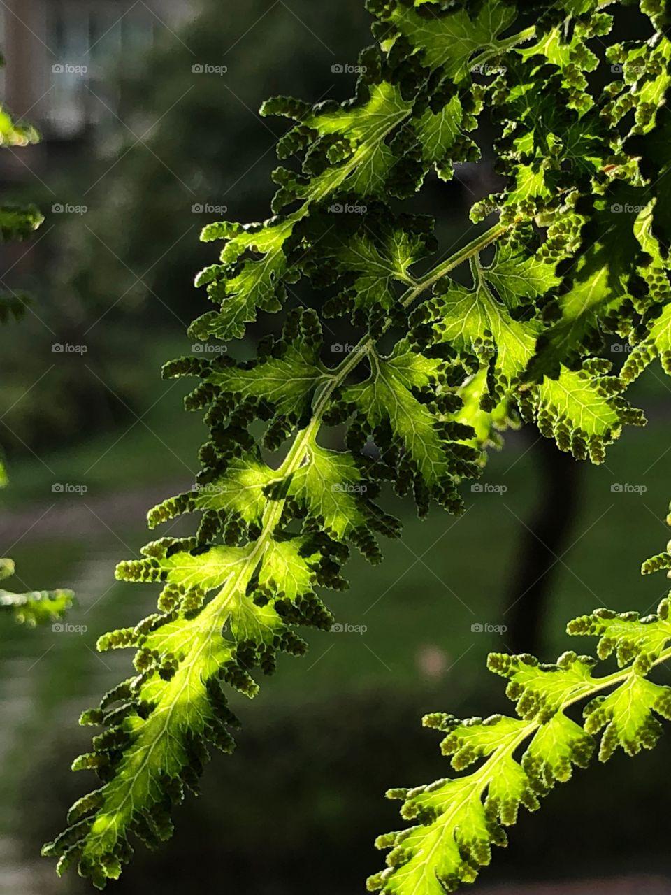 厥類植物海金沙葉脈