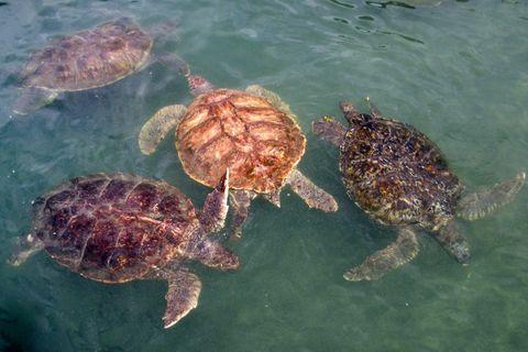 Sea Turtles Cayman Islands