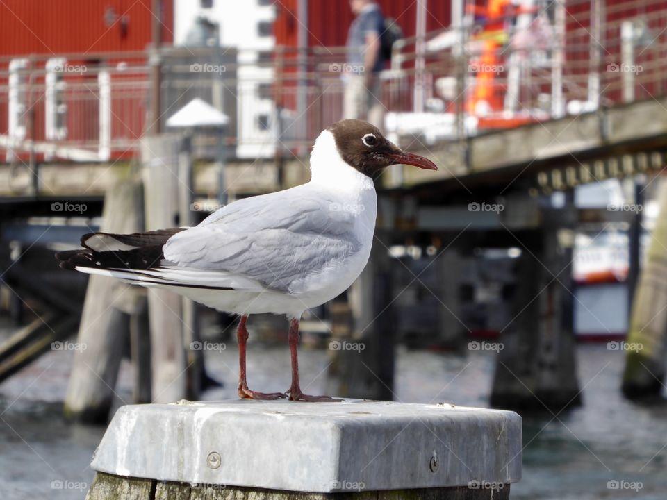 Seagull Baltic Sea - Eckernförde
