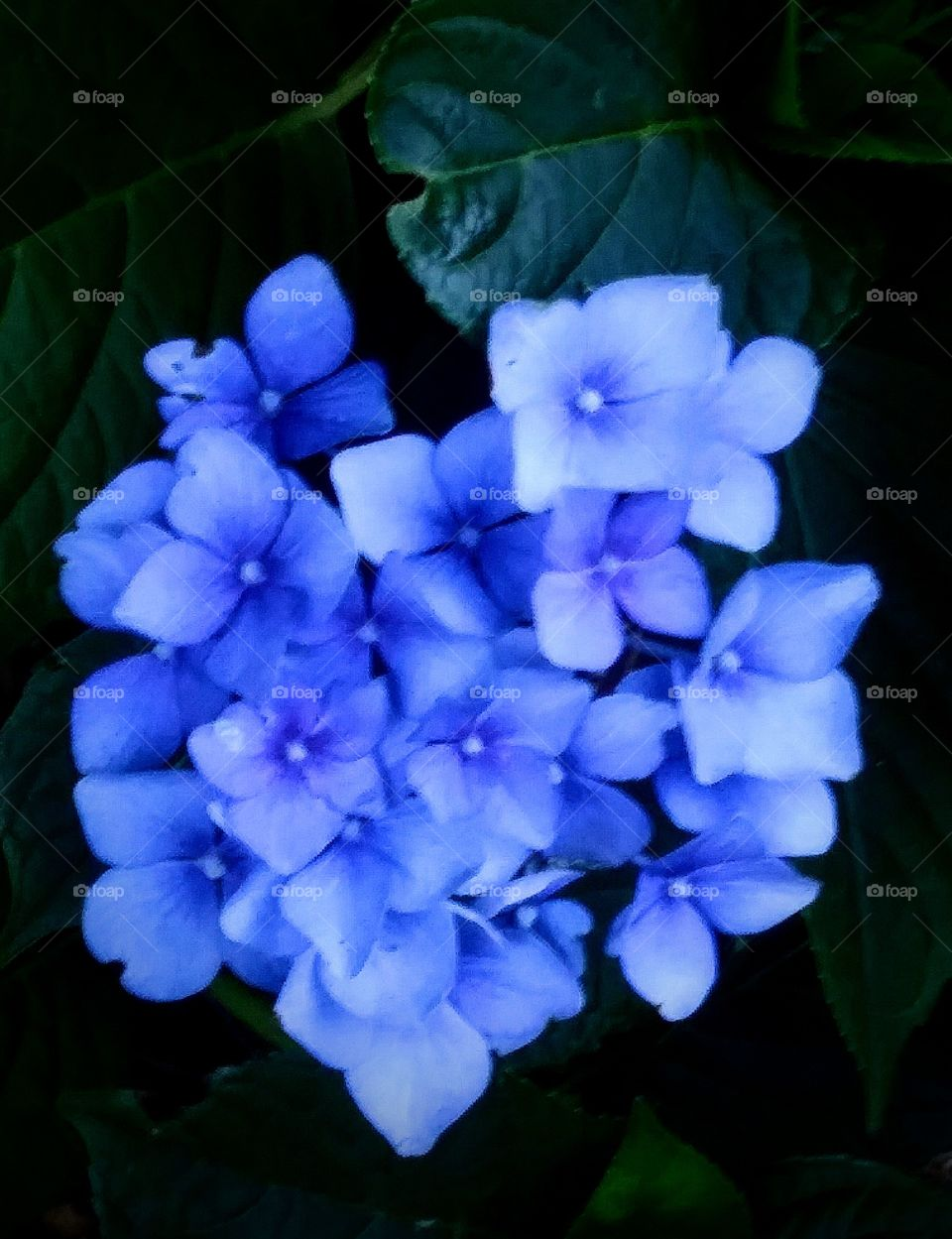 Hydrangea blossoms so blue they almost glow.