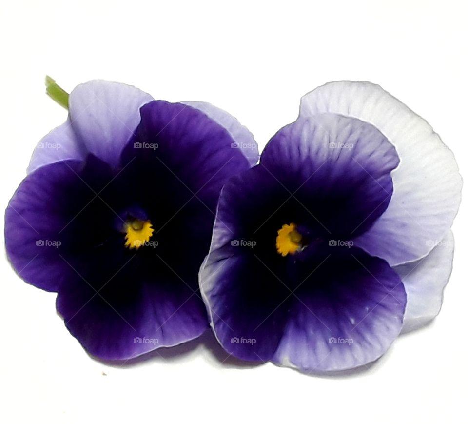 Beautiful purple viola on the white background.