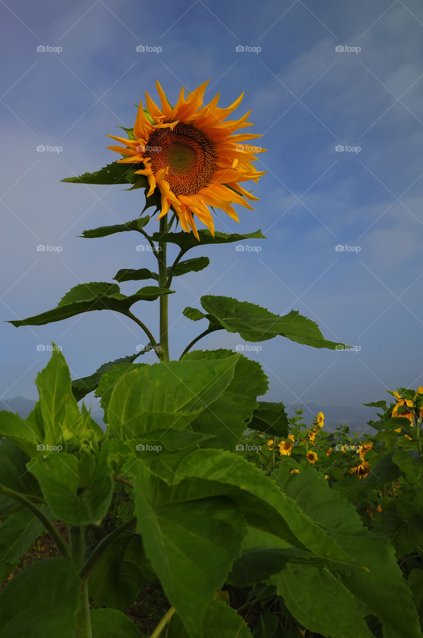 Sunflowers are blooming in the early morning before sunrise.