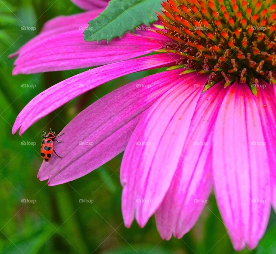 Beetle on cone flower