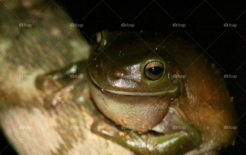 A smiling frog in North Queensland's bush. I almost walked into the biggest spider I'd seen in my life to get this. White's Tree Frog (aka Dumpy Tree Frog) in Townsville, QLD Australia