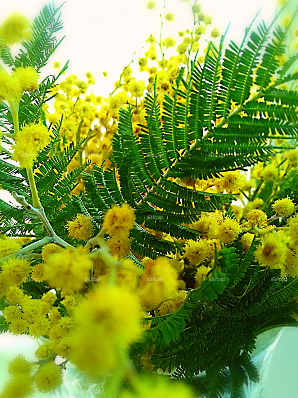 A bouquet of mimosa