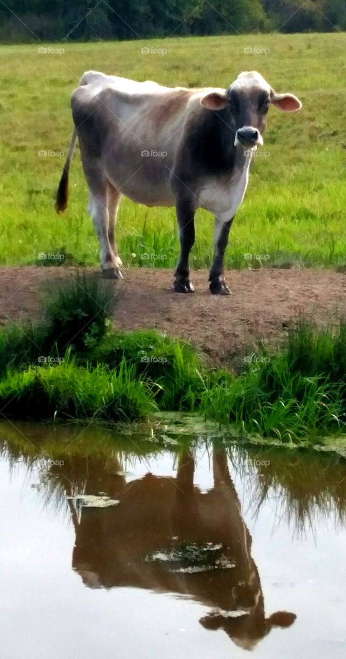 Cow reflecting in water