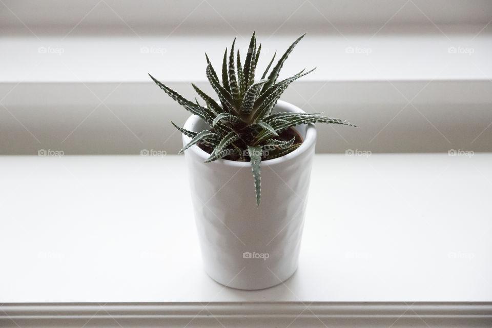 Green aloe vera plant in white pot on window sill