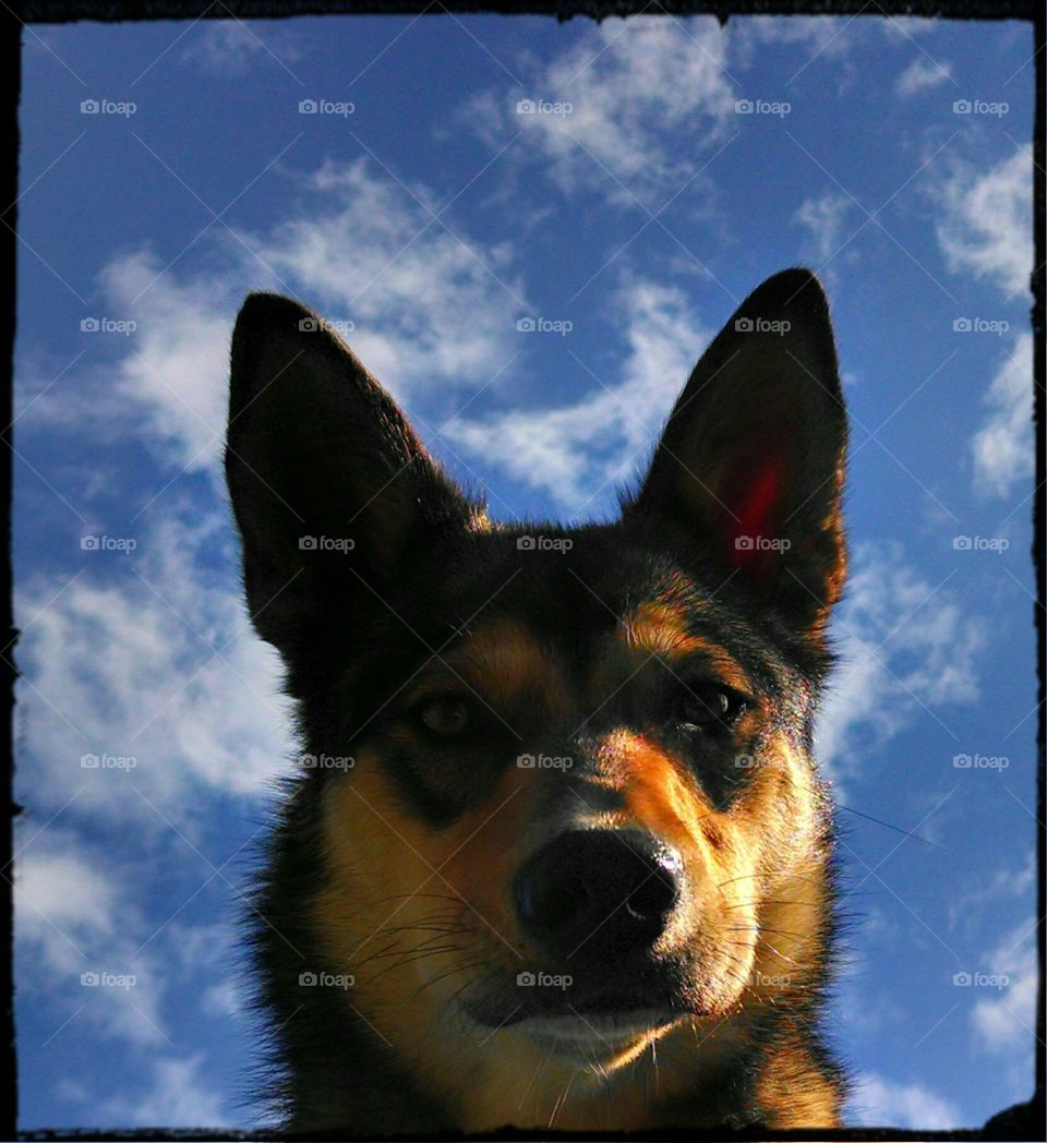wolf dog in the sky. our dog Rosie wolf mix