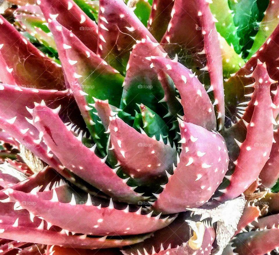 Aloe Close-up