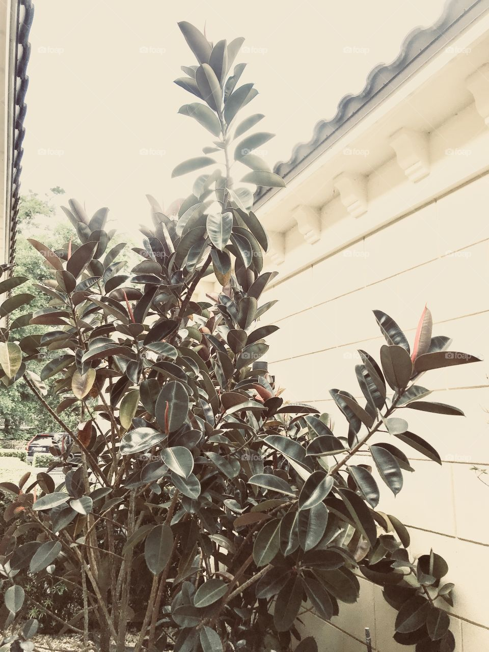 Botanical Burgundy Rubber Tree