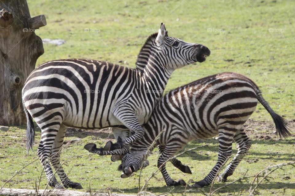 Zebra fight . Zebror som bråkar