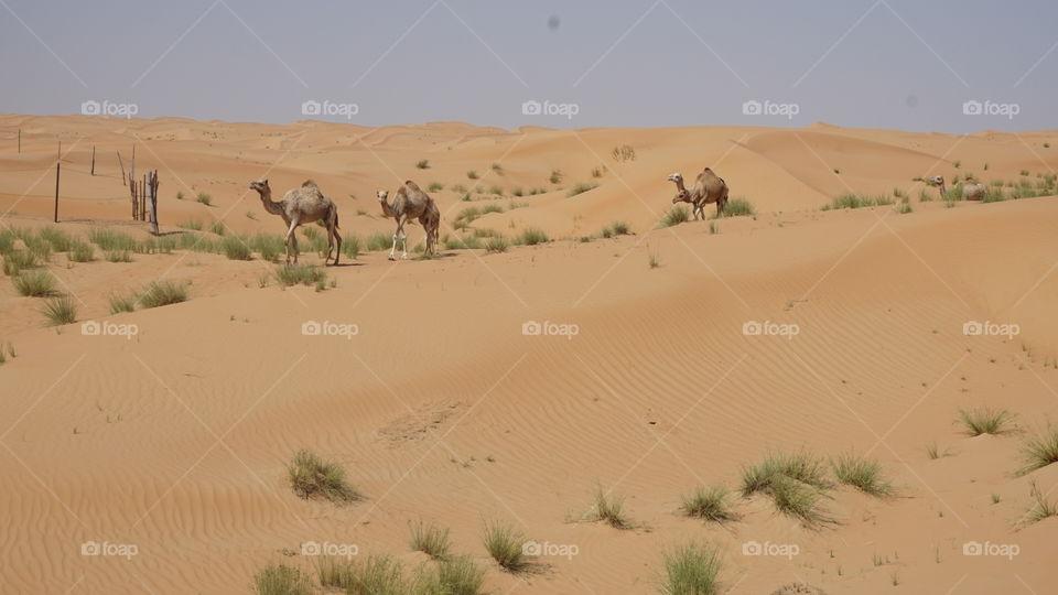 Wild camels on Dubai's desert