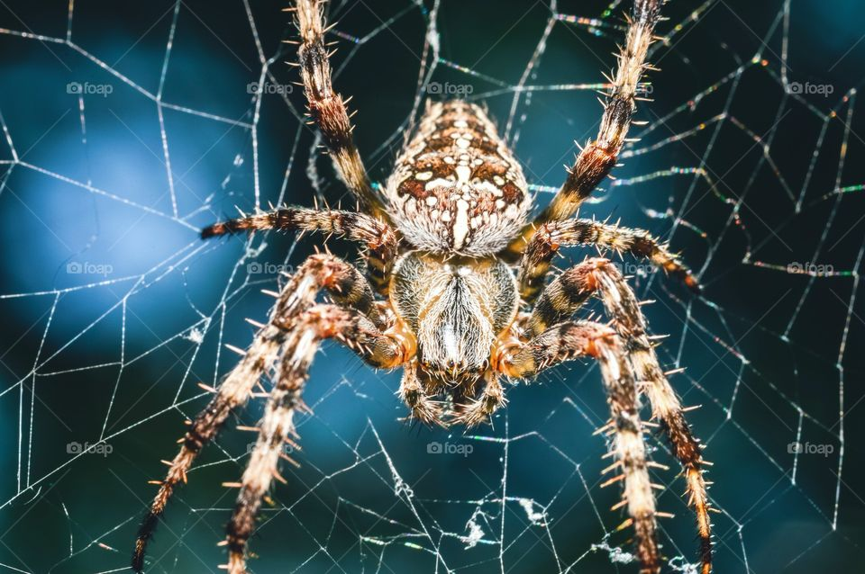 Extreme macro of a Cross Orb Weaver
