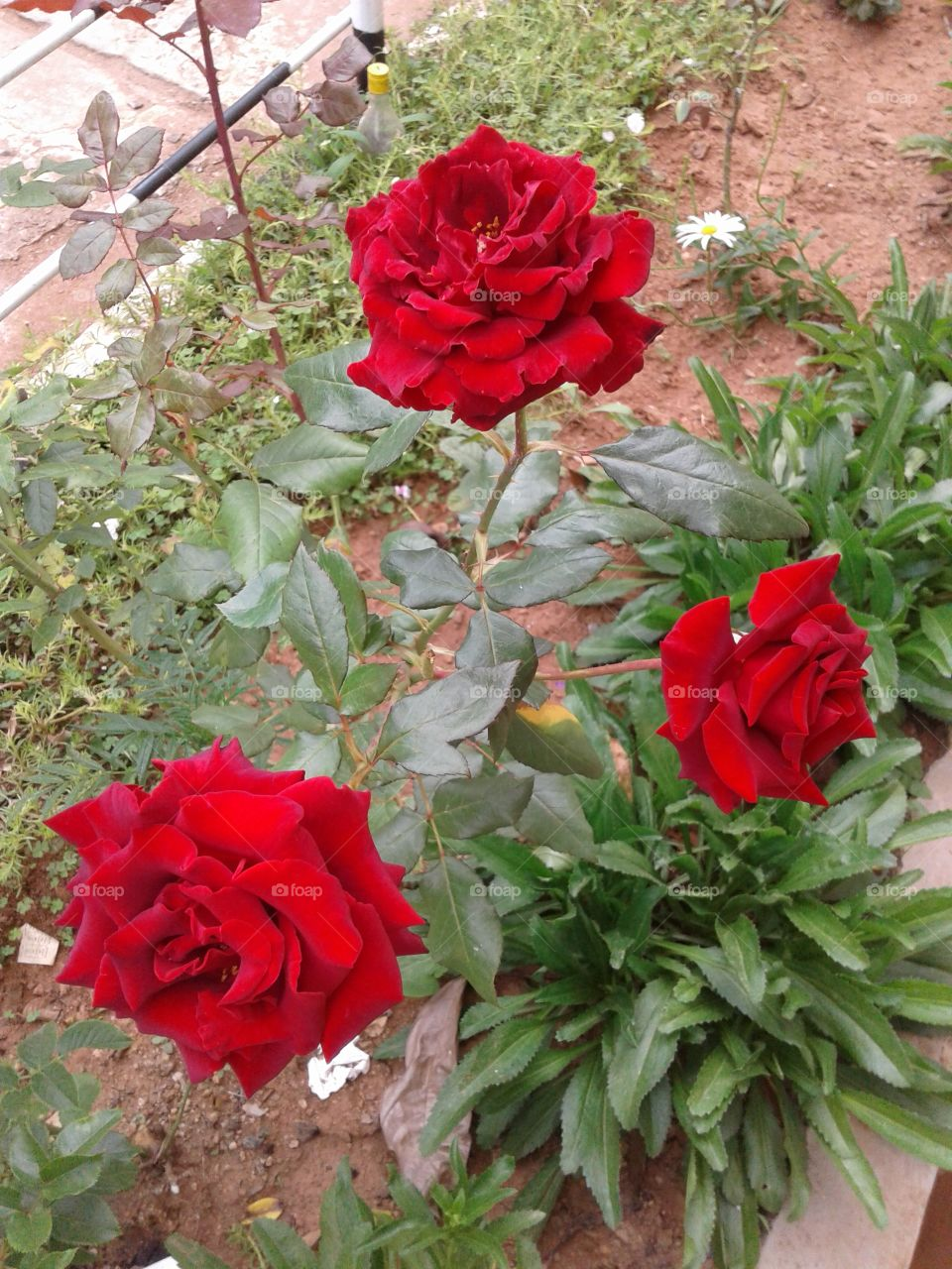 3 In One - Red Rose