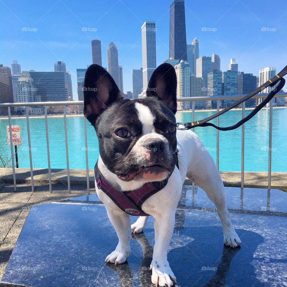 Dog standing, amazing Chicago skyline view behind.