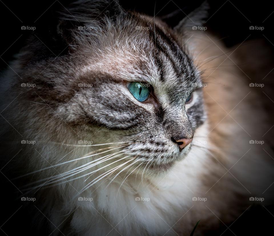 Pedigree Ragdoll (Seal Lynx Tabby) Cat Portrait.