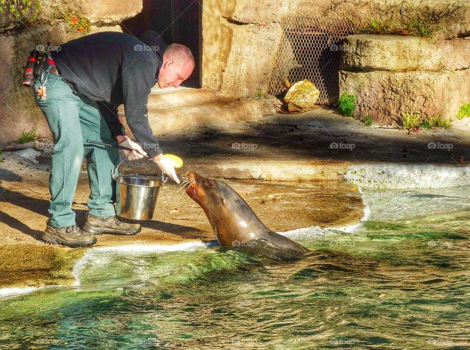 Zookeeper Feeding A Sea Lion. Zookeeper At Work