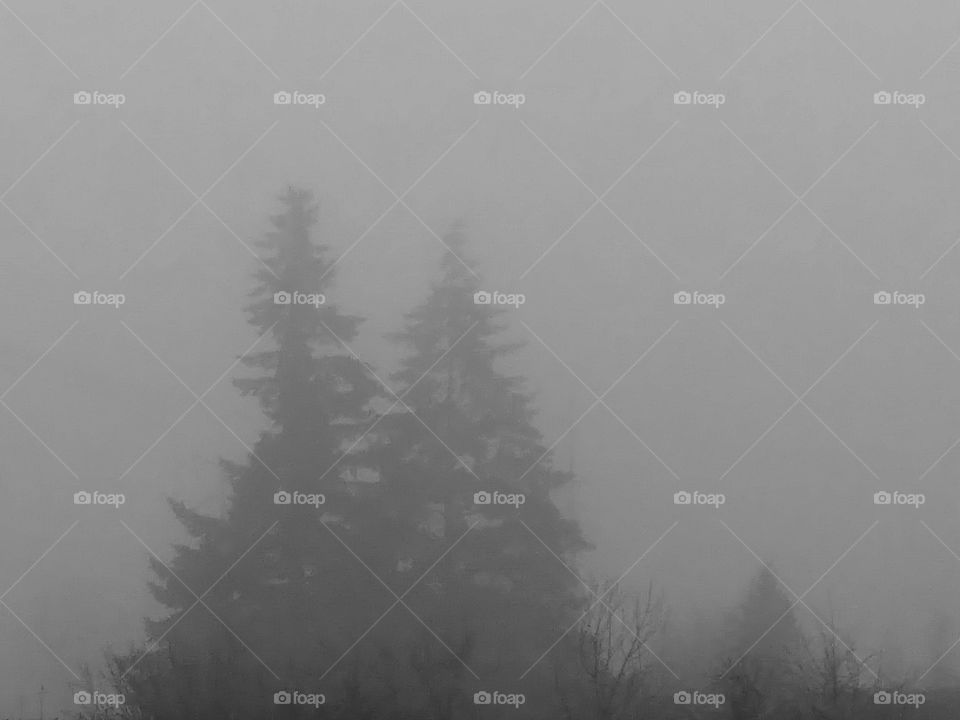 evergreens in fog