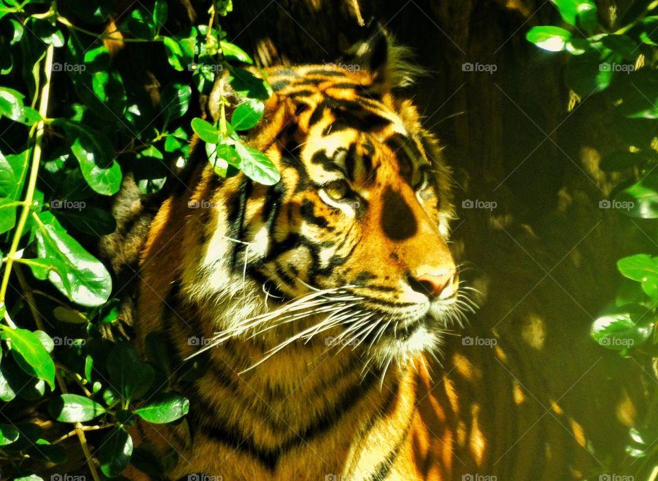 Sumatran Tiger. Tiger Lurking In The Undergrowth