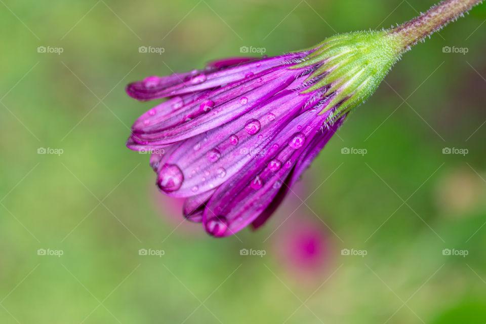 Macro Water droplets on purple flower