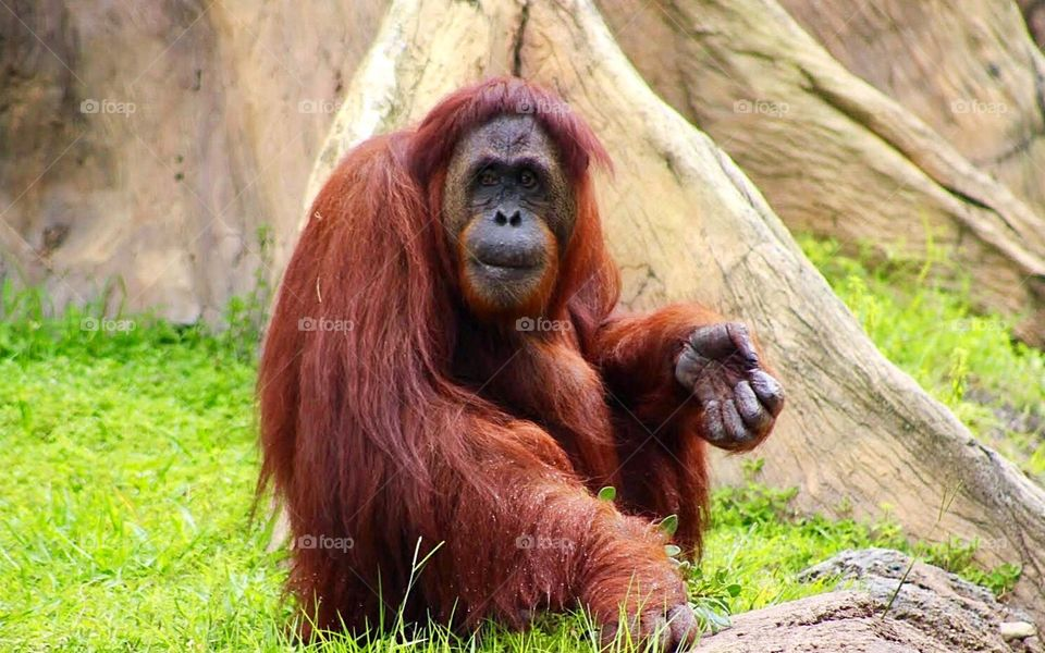 Portrait of a Orangutan sitting on gras
