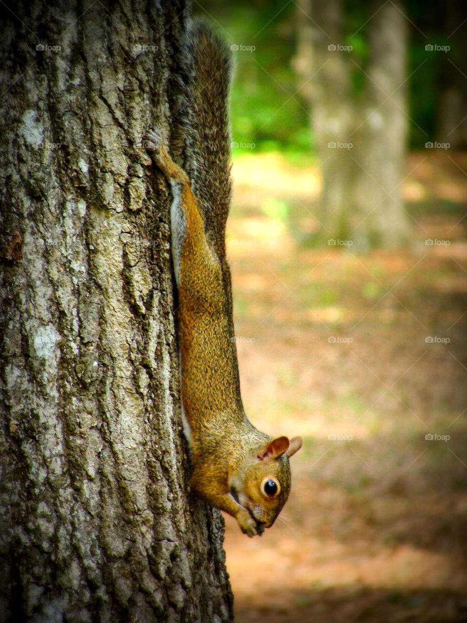 A squirrel pauses for a nibble while climbing down a tree trunk.