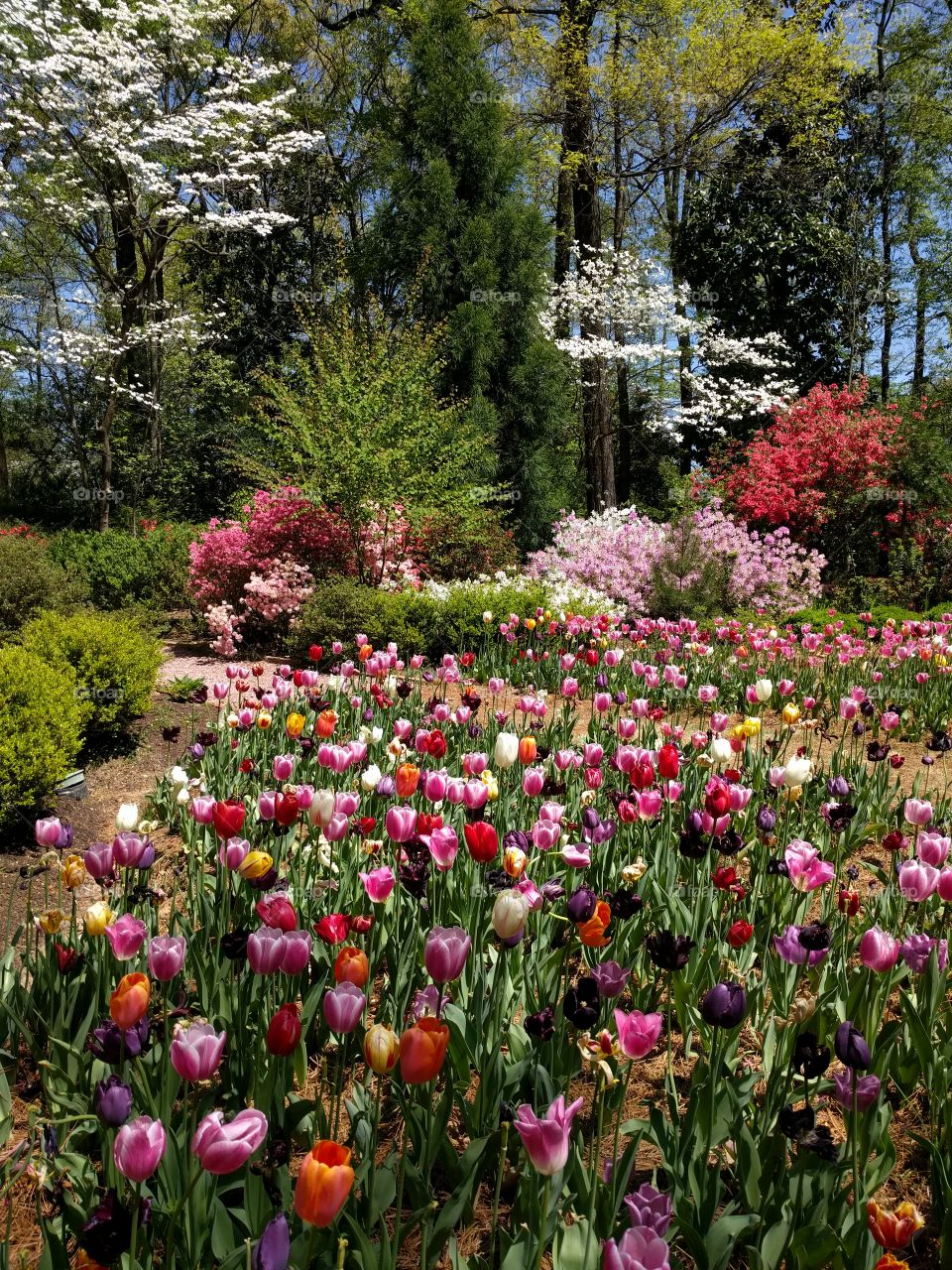 paths through the tulips with azaleas behind them, Dixon gardens, Memphis, TN, spring 2016