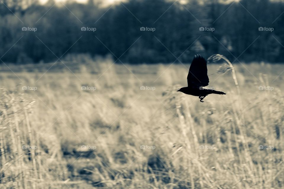 Silhouette Of A Bird In A Field, Bird Flying In A Field, Crow In Ohio, Silhouette Of A Bird, Monochromatic Silhouette, Silhouettes In Nature, Captured The Moment, Action In Nature, Wildlife In The Midwest