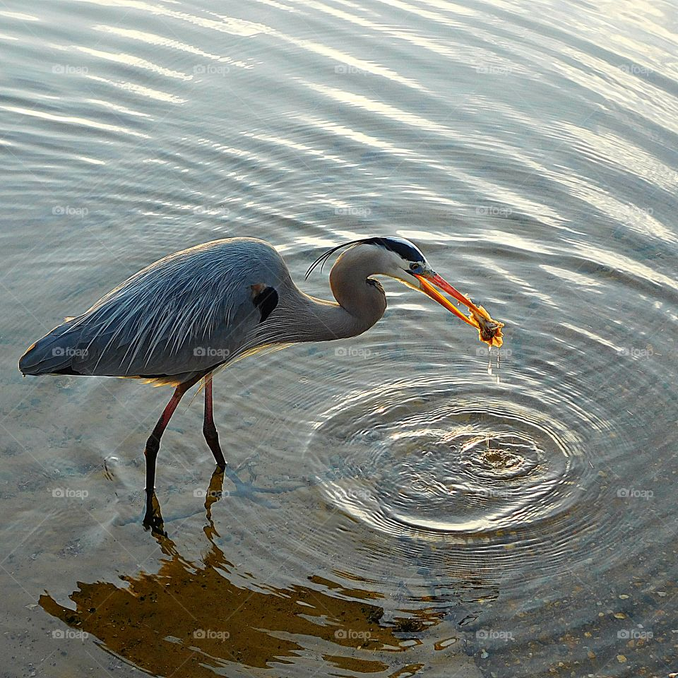 A Great Blue Heron indulges in the catch of the day!
