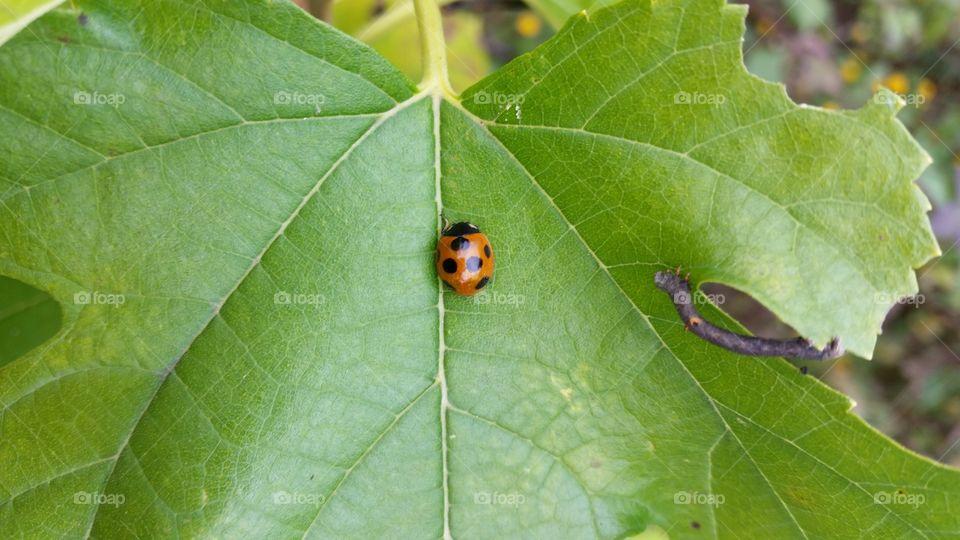 Ladybug in winter