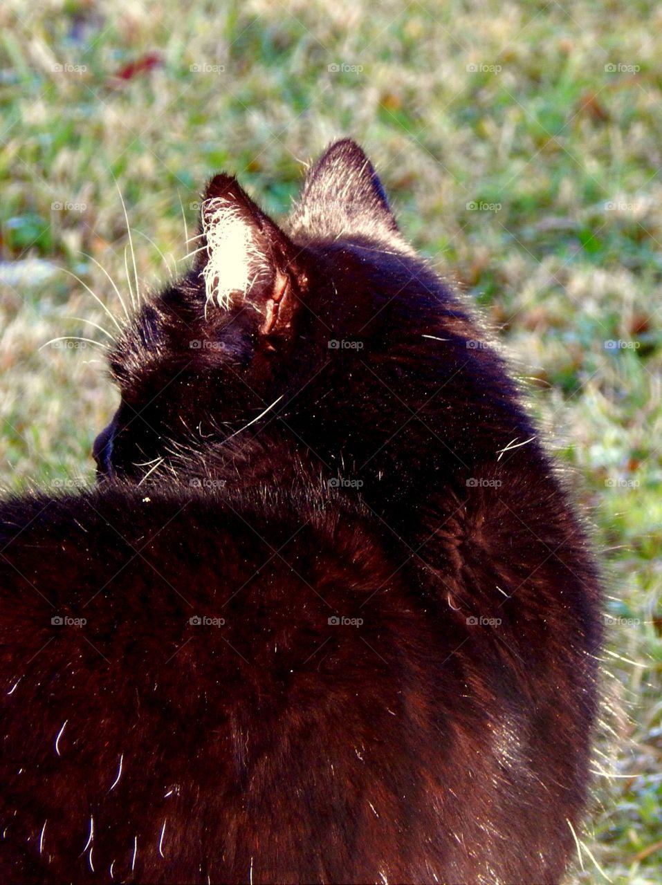 Fur of my black cat at sun