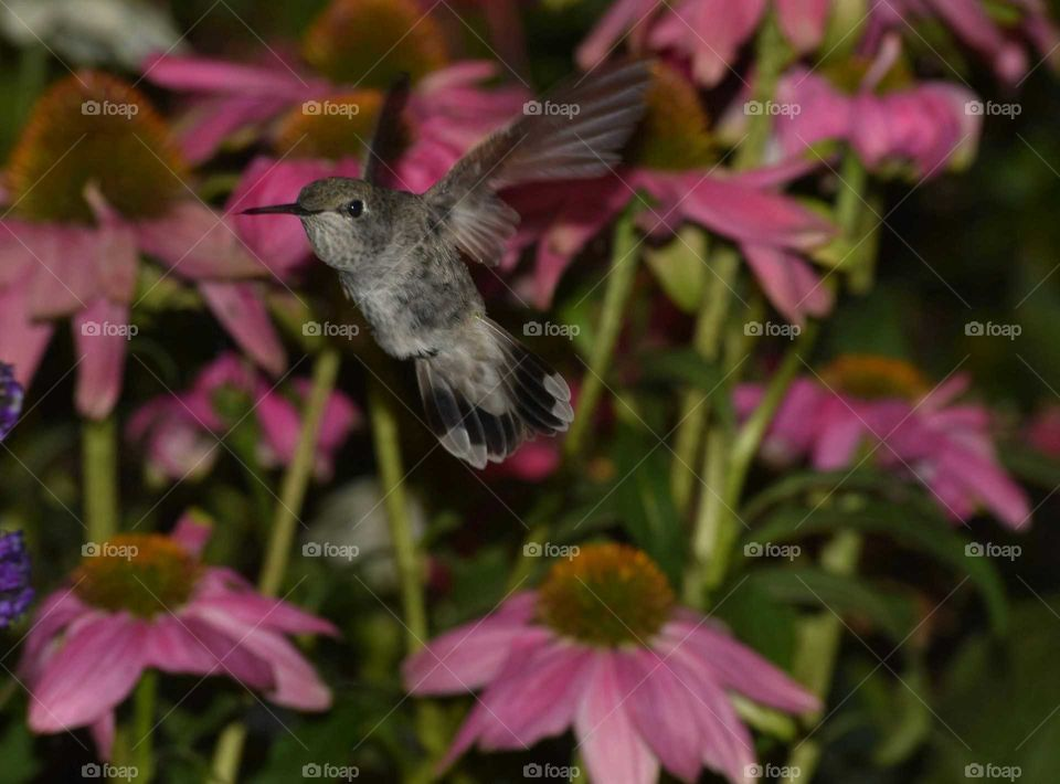 hummingbird in flight with wings out and tail fanned out August 15 2016
