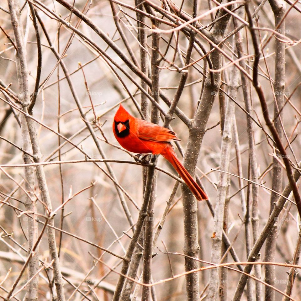 Male cardinal perching on branch