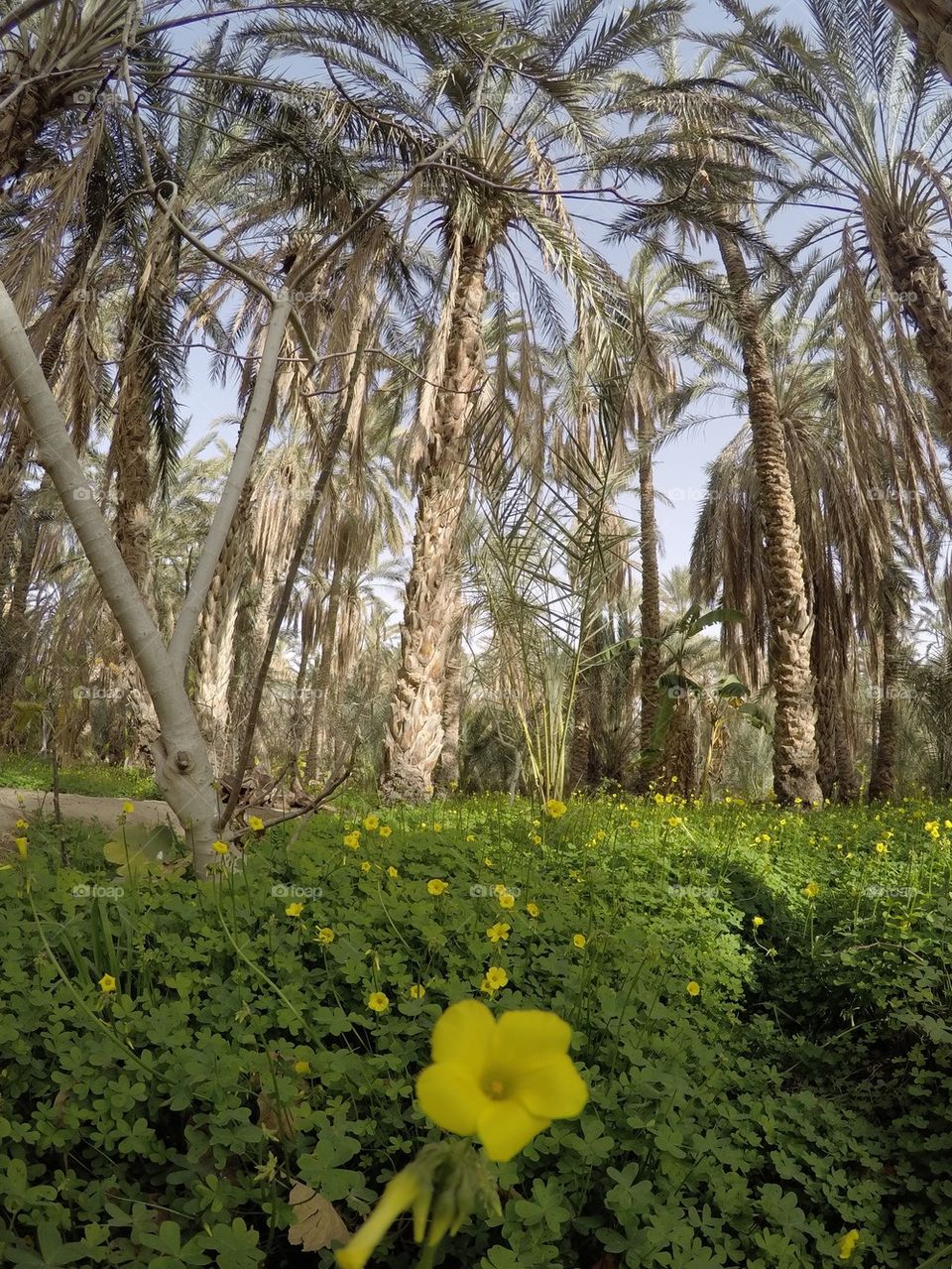 Date palm trees in a desert oasis in Tunisia with green grass growing around them