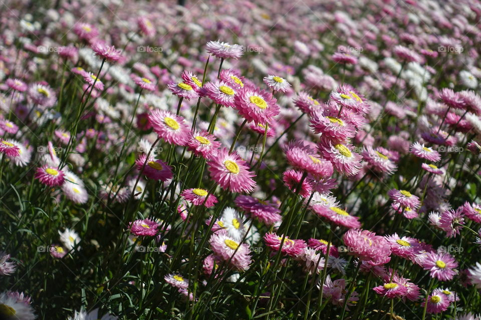 In the spring season, pink flowers called everlasting daisy and pink sunray are blooming.