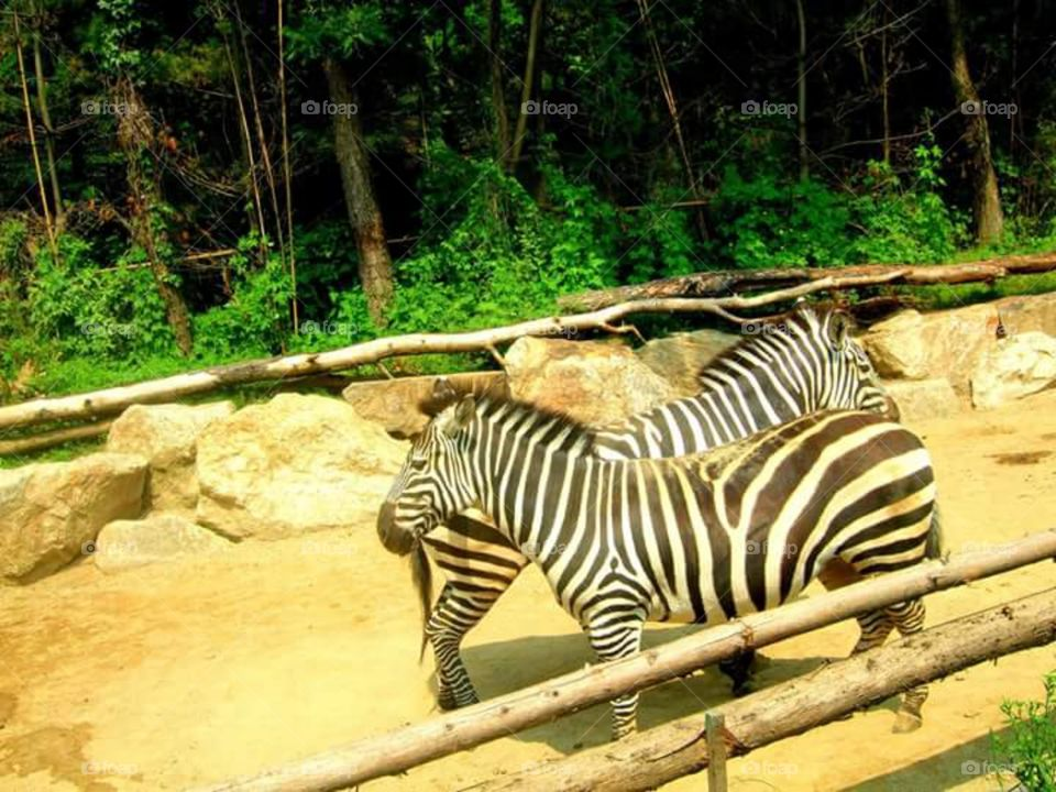 zebras crossing 😁 at Everland Seoul - Safari World