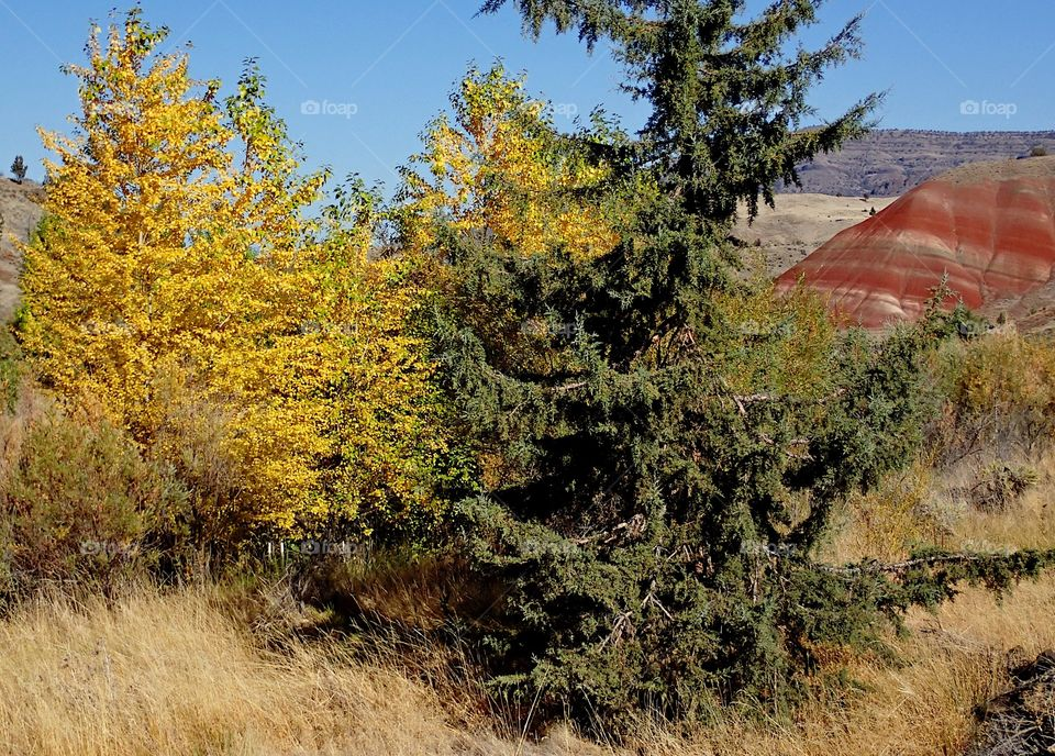 A juniper tree with lots of character amongst deciduous trees in their fall colors of yellow and gold with red and brown hills in the background on a sunny fall day in Eastern Oregon.