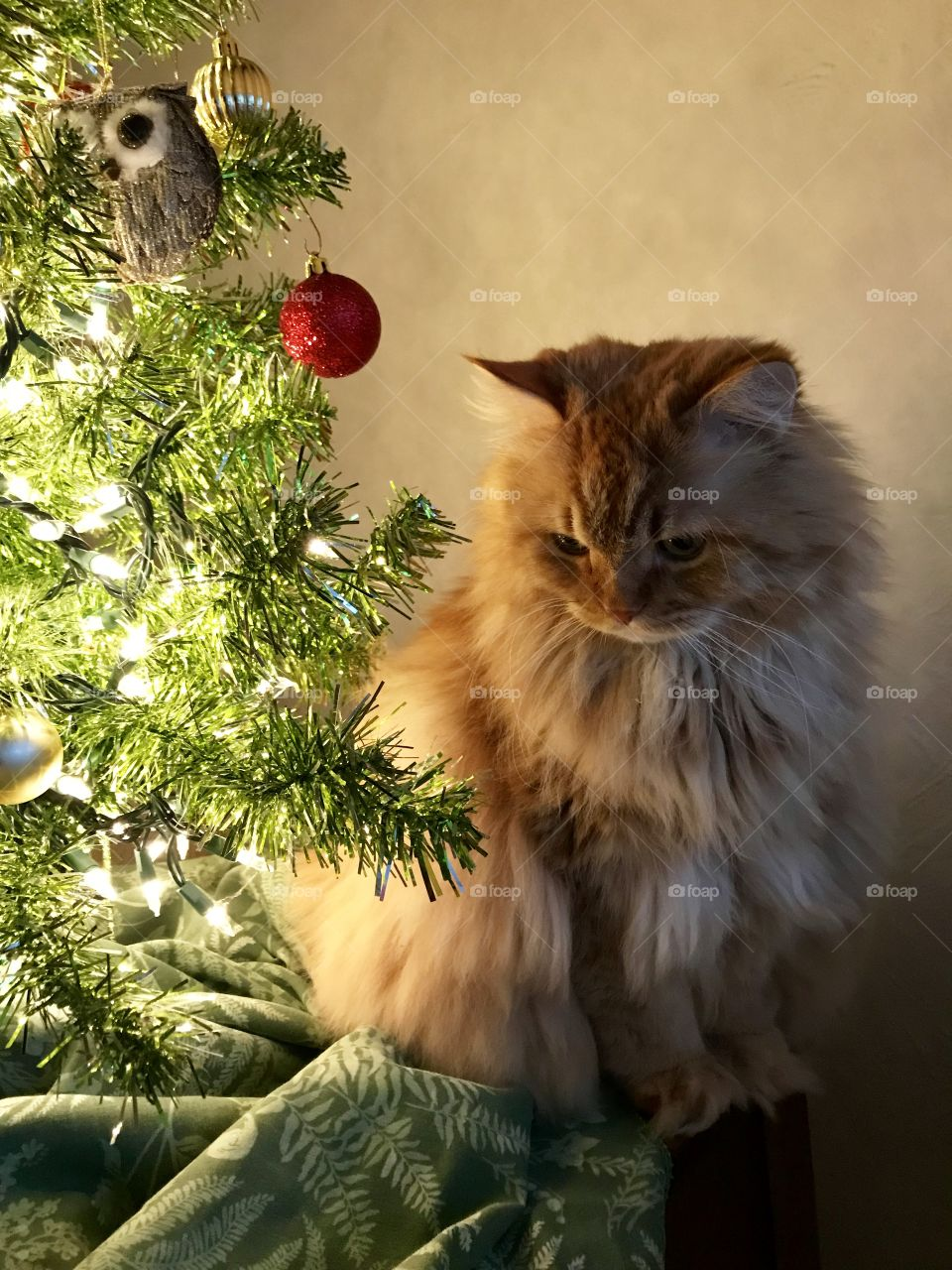 Leo my ginger cat under the Christmas tree