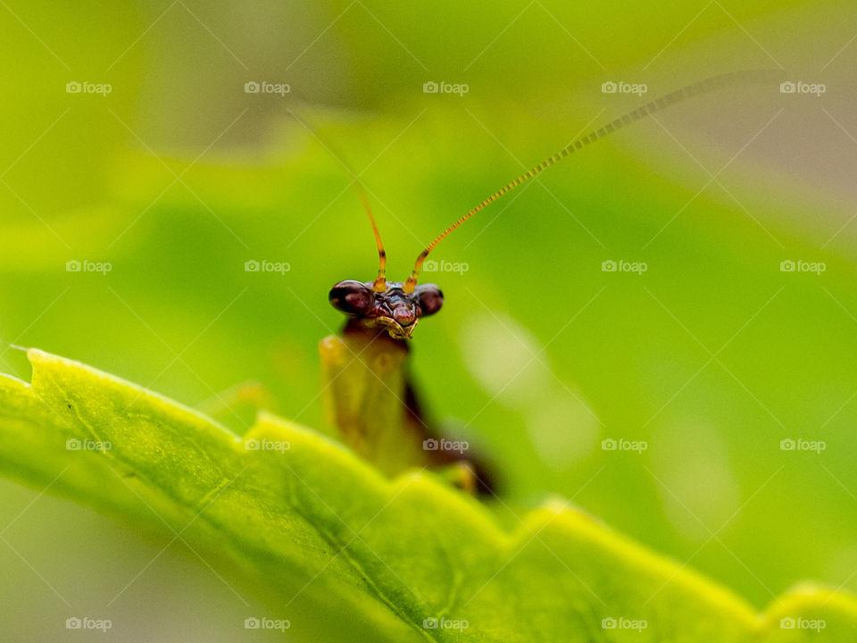 Cute Protrait of Praying Mantis