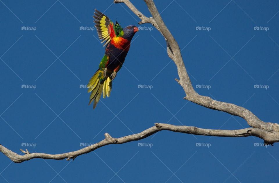Rainbow Lorikeet taking flight at sunset