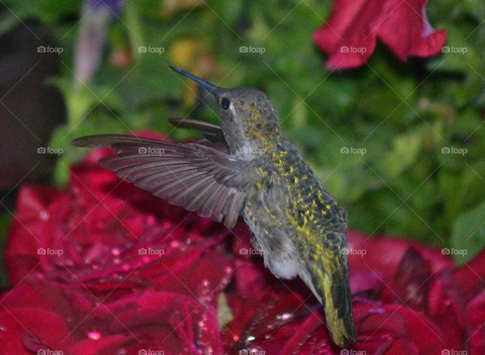 Anna's hummingbird and red roses with raindrops
