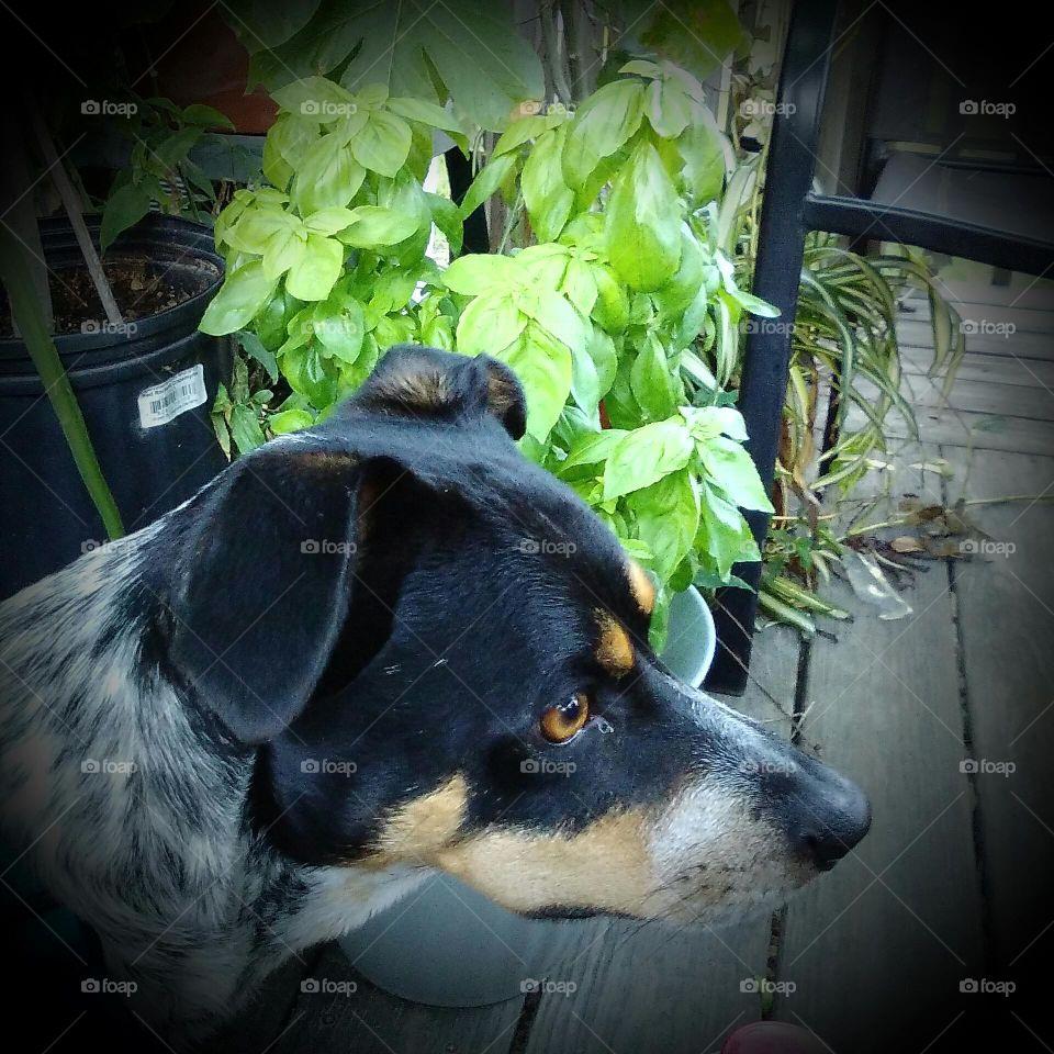 Crimson - Dog Staring