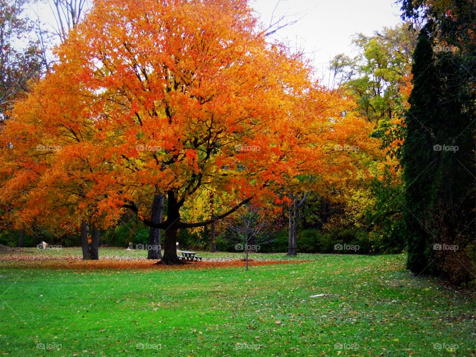 This is a beautiful orange colored tree in a park during a beautiful autumn day taken in Indiana.
