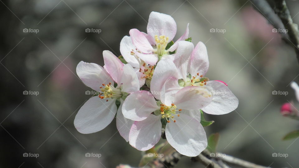 Delicate Apple blossoms close up