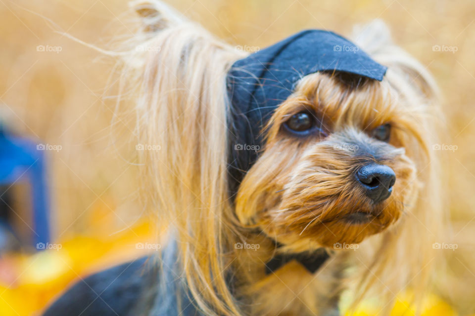 Halloween portrait Yorkshire terrier in a bat hat outside with Halloween accessories and attributes