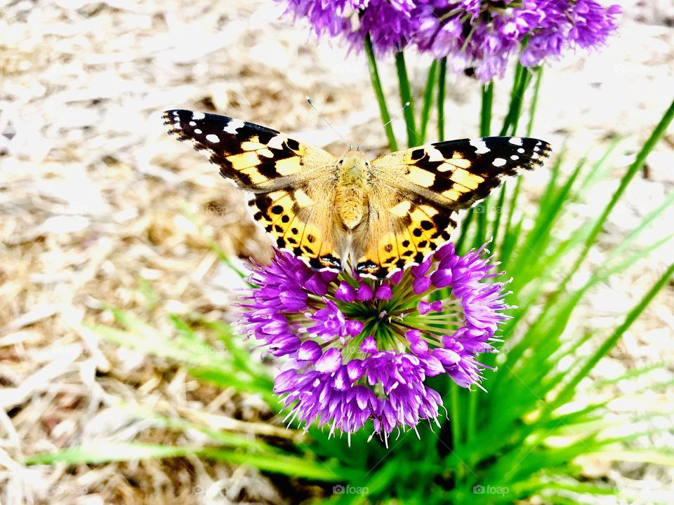 Gorgeous orange and black butterfly sitting on beautiful purple plant sipping nectar!!