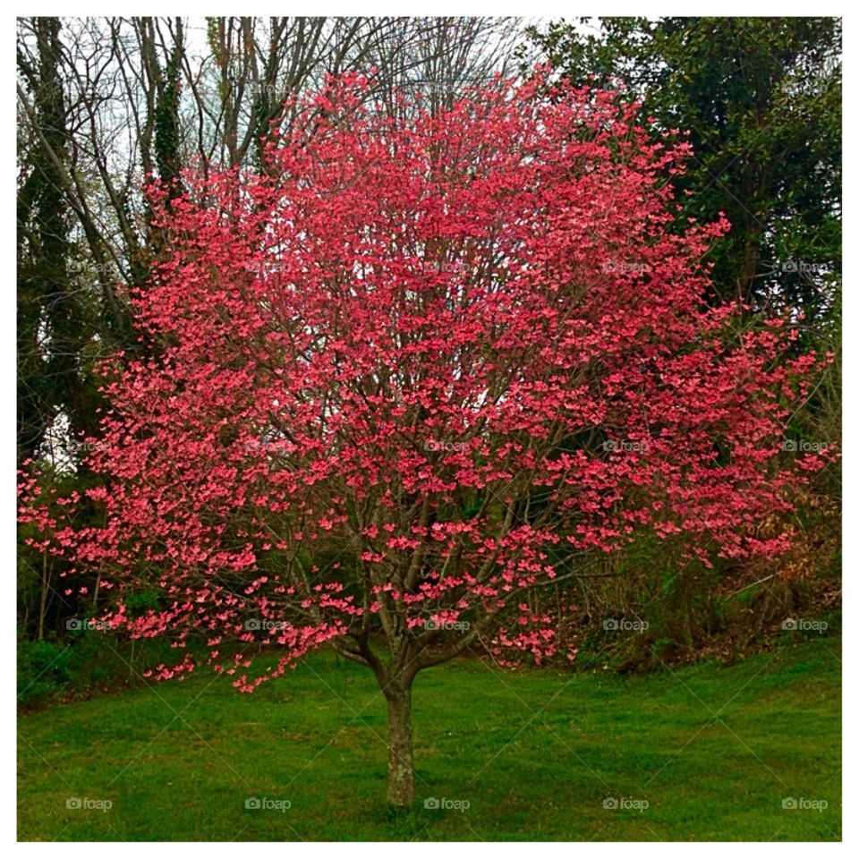 Pink Dogwood. Lovely, vibrant magnificent tree!